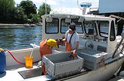 Captain and crew of the 'Fortunate Son' unloads their catch at the dock at The Chrissy D. Lobster Company.